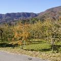 Photos: 毎年行っているリンゴ園