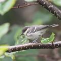 写真: P8030082ヒガラ幼鳥