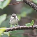 写真: P8030084ヒガラ幼鳥