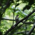 写真: P8110045オオルリ幼鳥