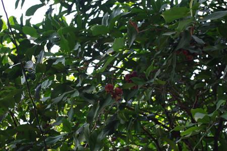 果実が成っている。