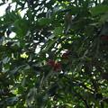 Photos: 果実が成っている。