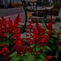 写真: 赤いサルビア