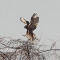 写真: 野鳥チュウヒの飛びつき
