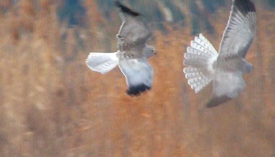2羽のハイイロチュウヒ♂3