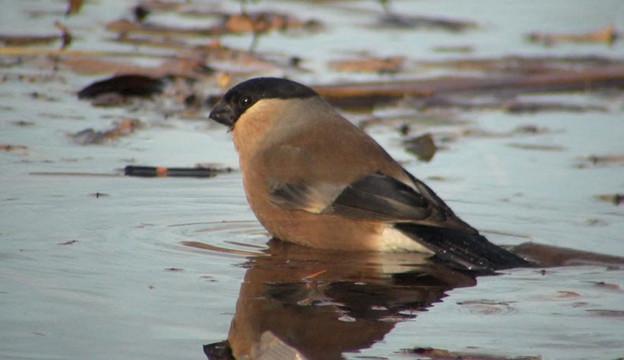 ウソ Bullfinch