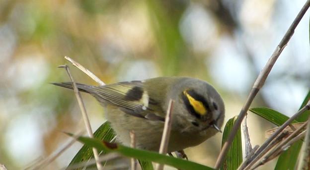 野鳥 キクイタダキ