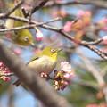 写真: 桜とメジロ