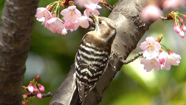 彼岸桜とコゲラ