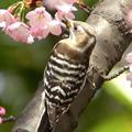 Photos: 彼岸桜とコゲラ