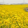 写真: 菜の花の土手