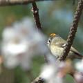 写真: 桜とキクイタダキ