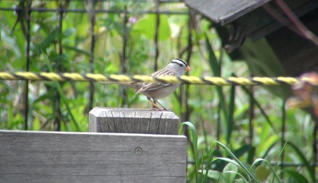 迷鳥ミヤマシトド