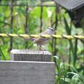 写真: 迷鳥ミヤマシトド