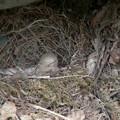 写真: キセキレイの卵