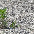 写真: コチドリのヒナ