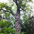 写真: 栗の木