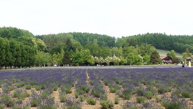 写真: ラベンダー畑