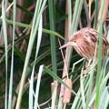 写真: ヨシゴイ幼鳥