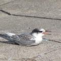 写真: コアジサシ幼鳥