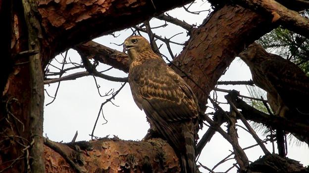 Photos: オオタカ幼鳥