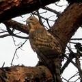 写真: オオタカ幼鳥