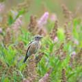 写真: ノビタキ幼鳥