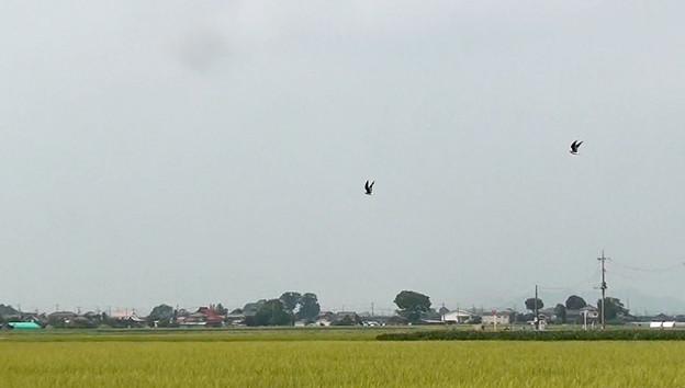 写真: ツバメチドリの飛翔