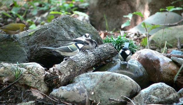 水場に集まった野鳥