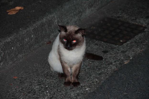 迷子の猫(別府市鶴見原)の飼い主探し2