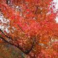 Photos: 11月7日「もみじ」
