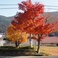 Photos: 11月23日「国道33号線沿いのもみじ」