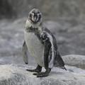 羽毛が生え変わり中のフンボルトペンギン