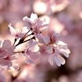 Photos: 木洩れ陽さえも桜色♪