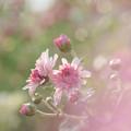 Photos: 小菊の想い・・・♪