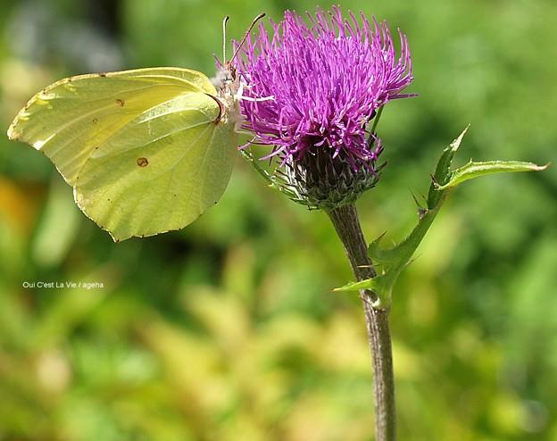 Photos: で、こちらがヤマキチョウ。前翅突出弱め。(信州某所にて)