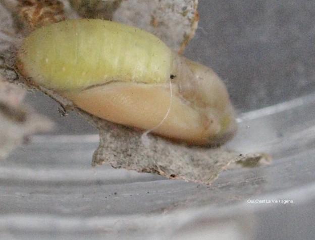 羽化3日前の蛹。(ヤマトシジミ飼育)