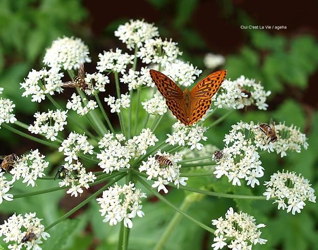 蝶と蜜蜂。のつもりで撮ったのに全体的にハエっぽくてガッカリ。の図
