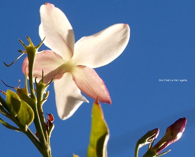 ジャスミンの花とつぼみはちょっとピンク色。