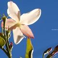 Photos: ジャスミンの花とつぼみはちょっとピンク色。