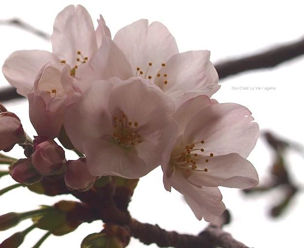 桜開花出来たて。(2013年3月18日mon)