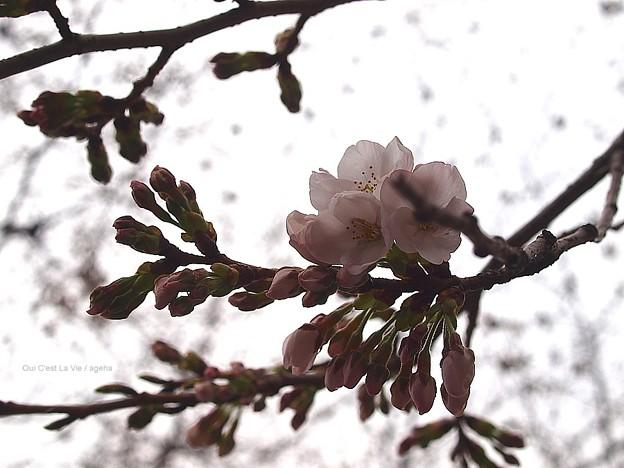 東京桜開花2013(3月18日mon)