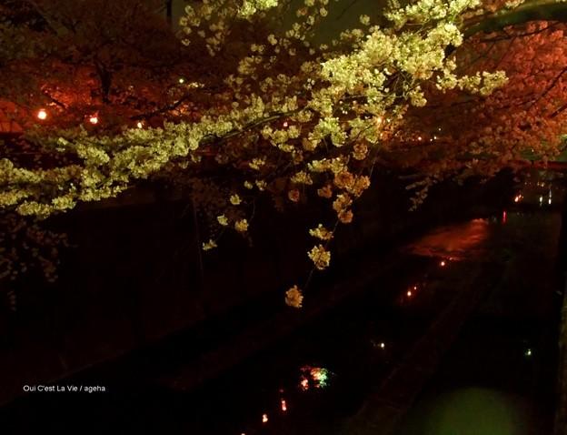 夜も(桜吹雪2013)