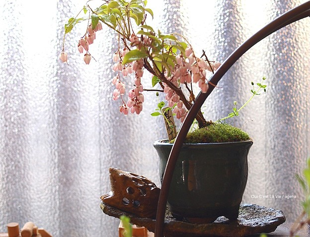 2013アセビ満開。(アセビ盆栽)