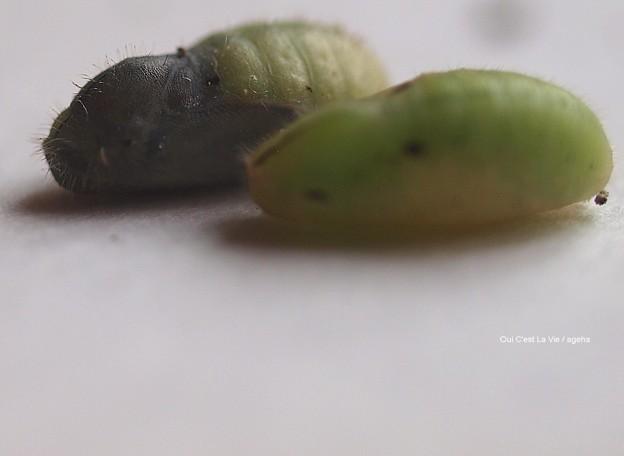 こんな小動物がいたような。(ヤマトシジミ飼育 蛹)