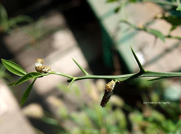 5齢への脱皮直前4齢幼虫。(ナミアゲハ幼虫)