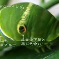 幼虫時代から成虫の色はすでに持ってる。(ナミアゲハ終齢(5齢)幼虫飼育)