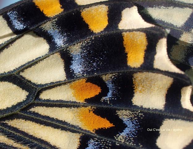相変わらずビシッと揃ってる鱗粉。(ナミアゲハ飼育 羽化)