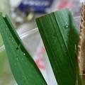 巣作りは右から左へ(イチモンジセセリ飼育 孵化1齢幼虫)