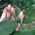 もうすぐ蛹で越冬します。(クロアゲハ終齢幼虫)